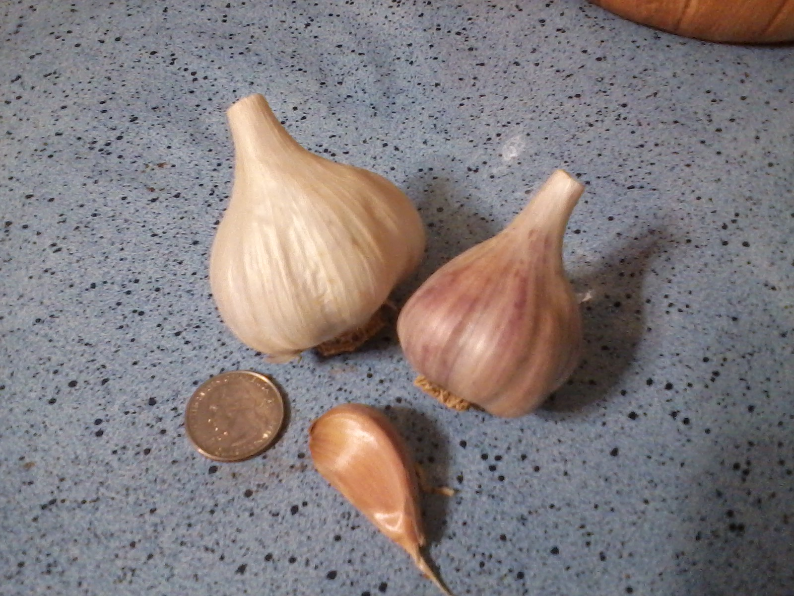 BOGATYR GARLIC - seed bulbs