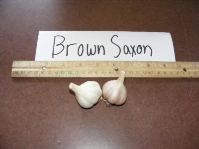 BROWN SAXON GARLIC - seed bulbs