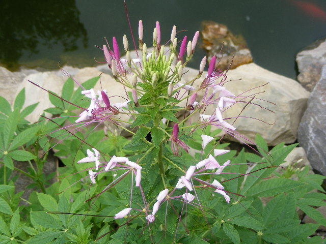 CLEOME (SPIDER FLOWER) 2017