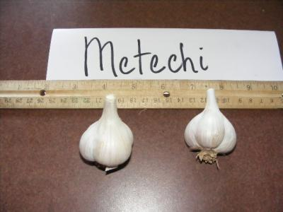 METECHI GARLIC - seed bulbs