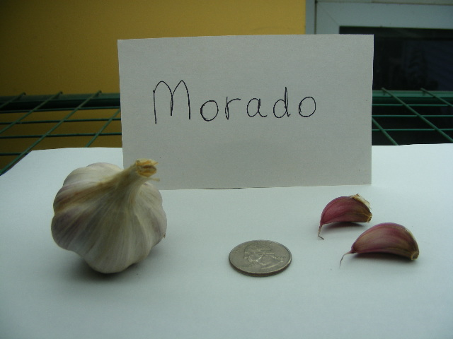 MORADO GARLIC - culinary - Click Image to Close