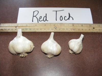RED TOCH GARLIC - seed bulbs